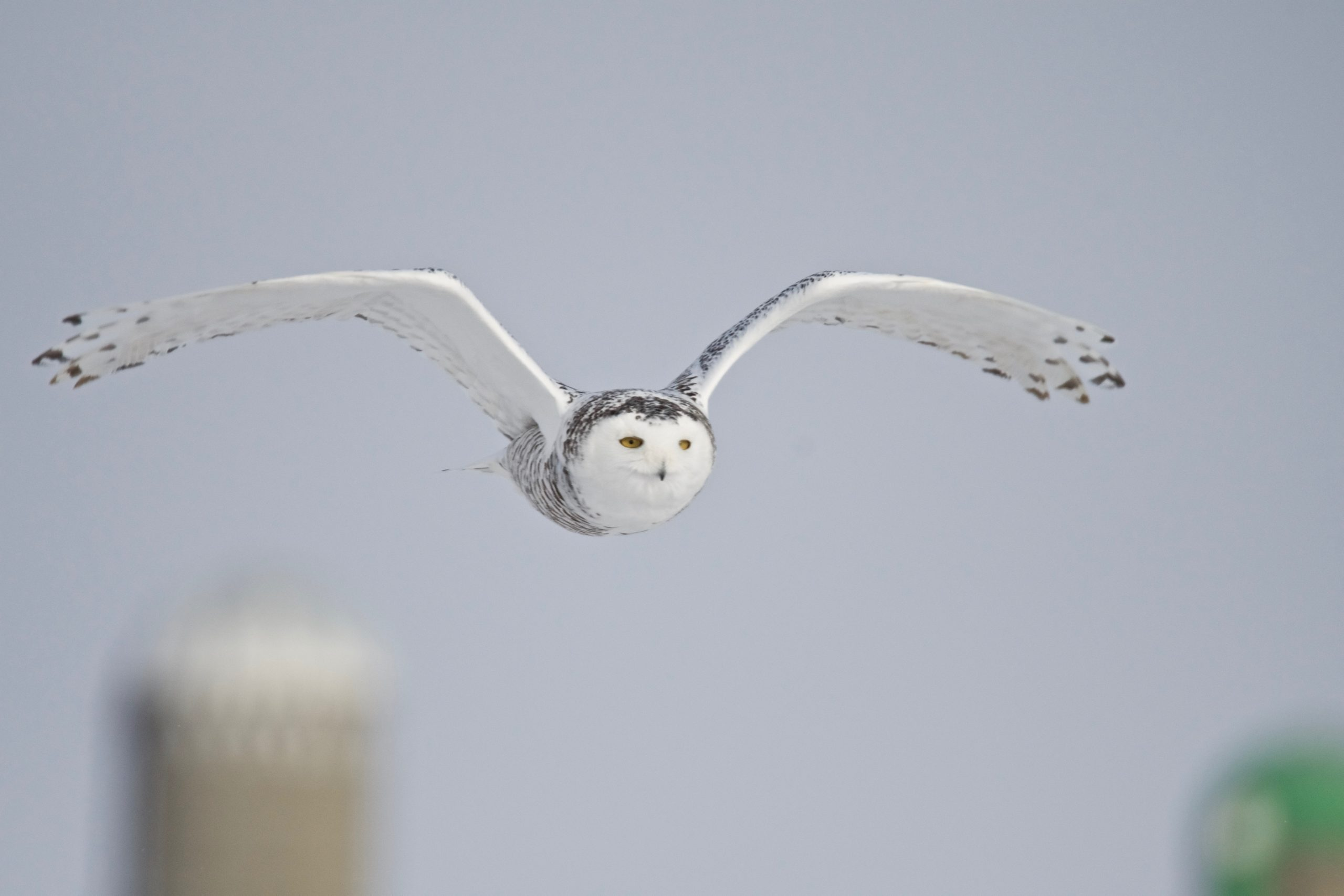 How To Photograph Snowy Owls