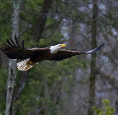 Bald Eagles Hunting
