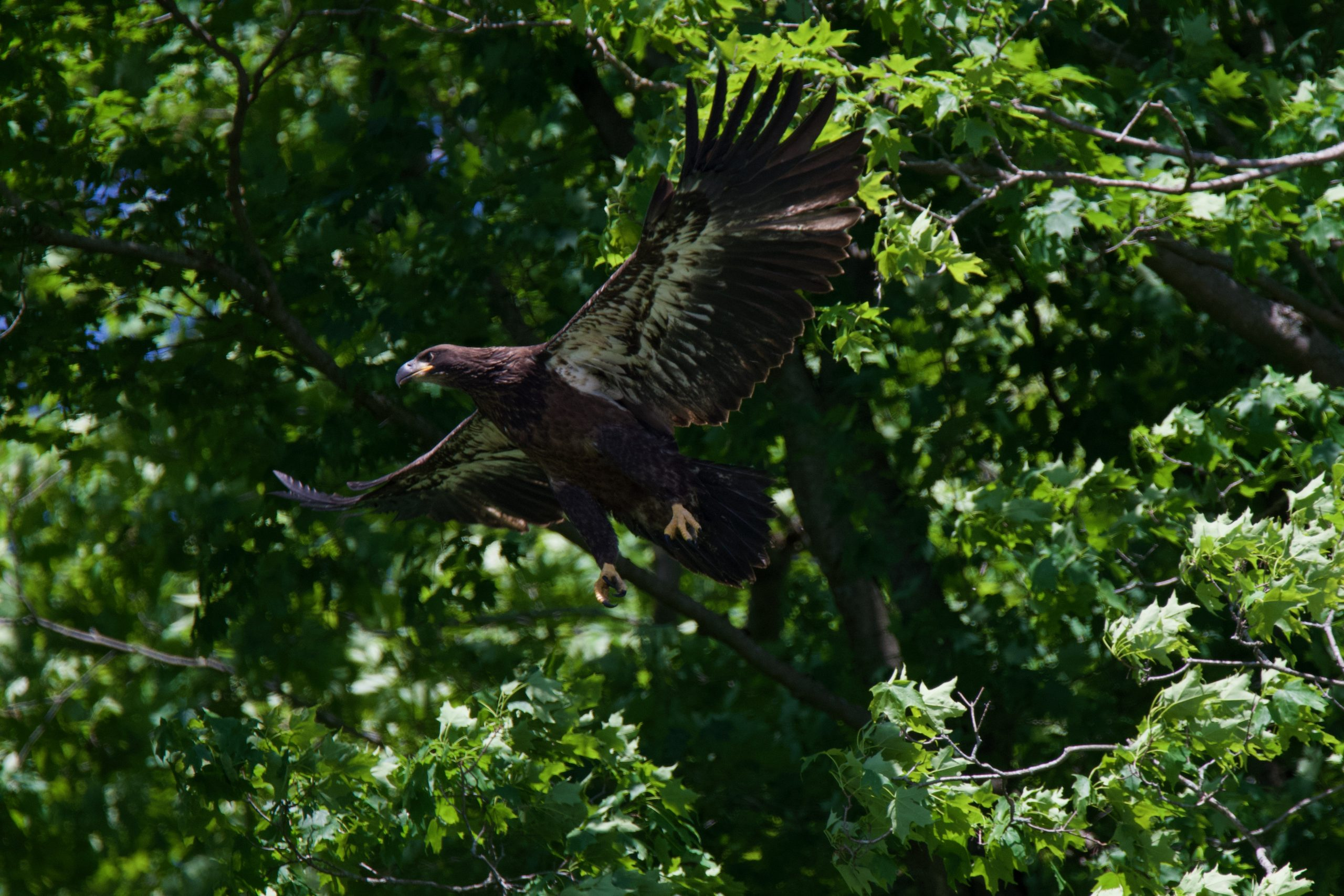 Bald Eagle Triplets Fledge