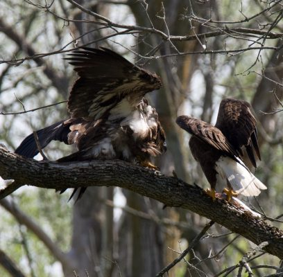 Eagles Having Human Encounters