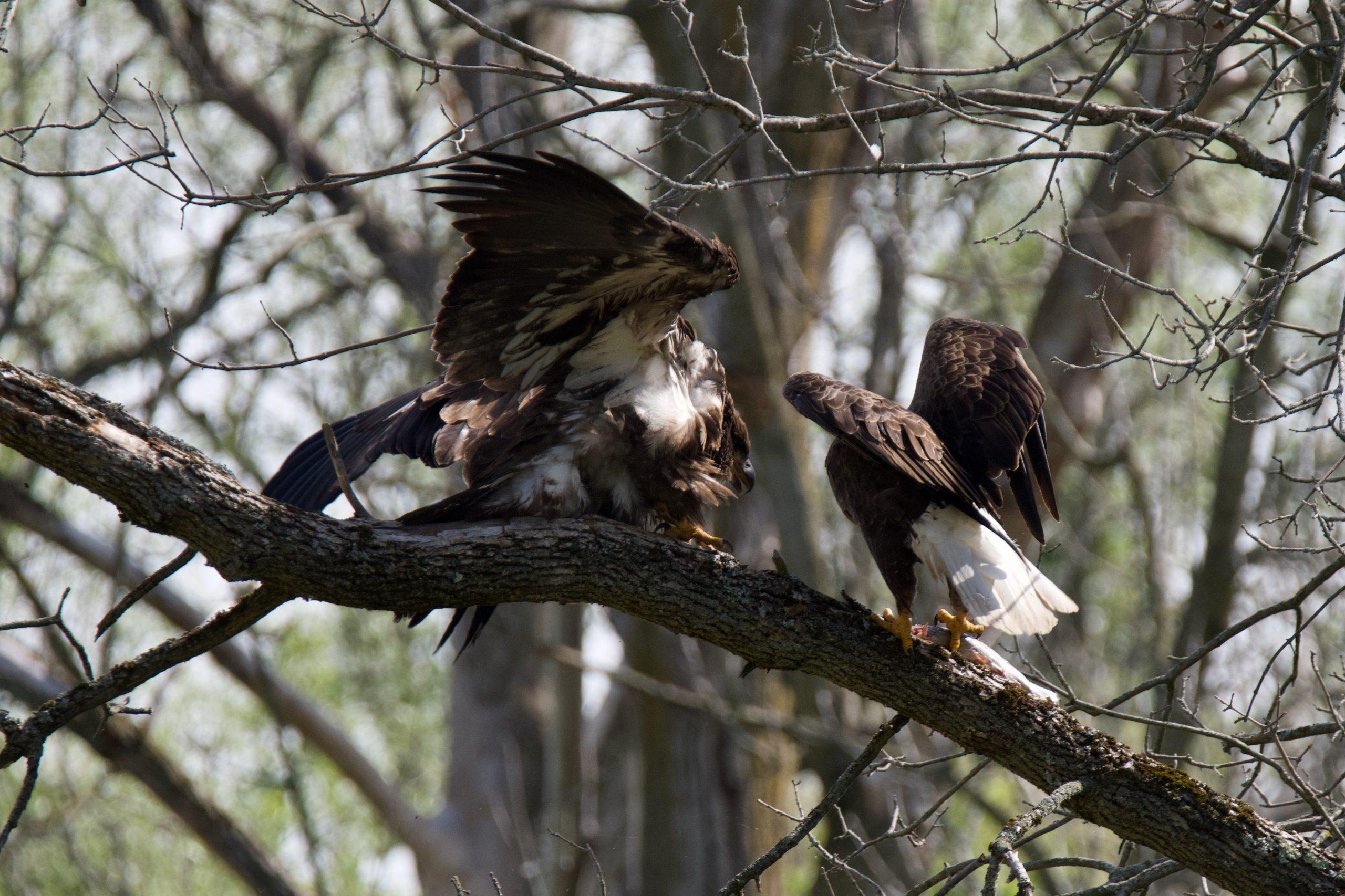 Eagles Having Human Encounters