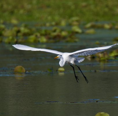 Great Egrets Offer Photographic Experiences