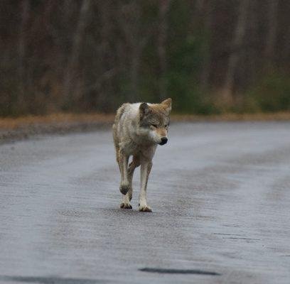 Wolves of Killarney