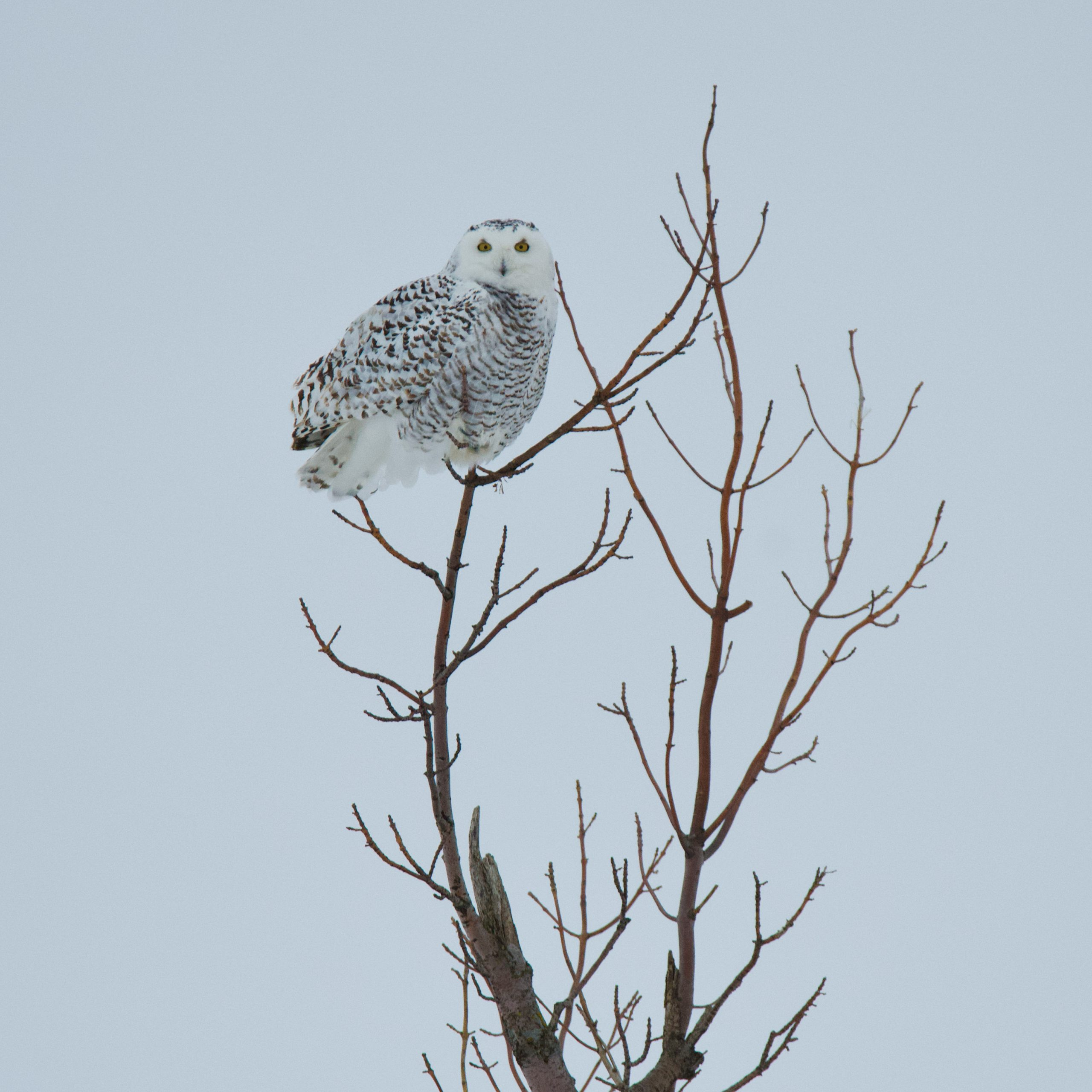 Snowy Owls Have Returned