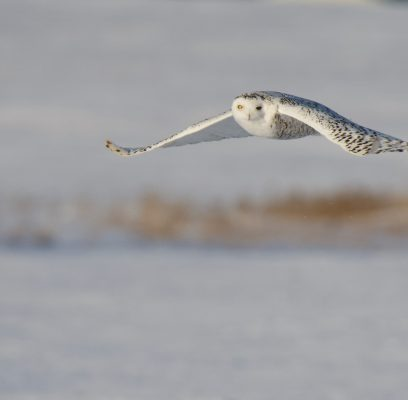Snowy Owls' Behaviour