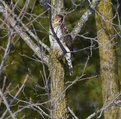 Cooper's Hawk On the Hunt