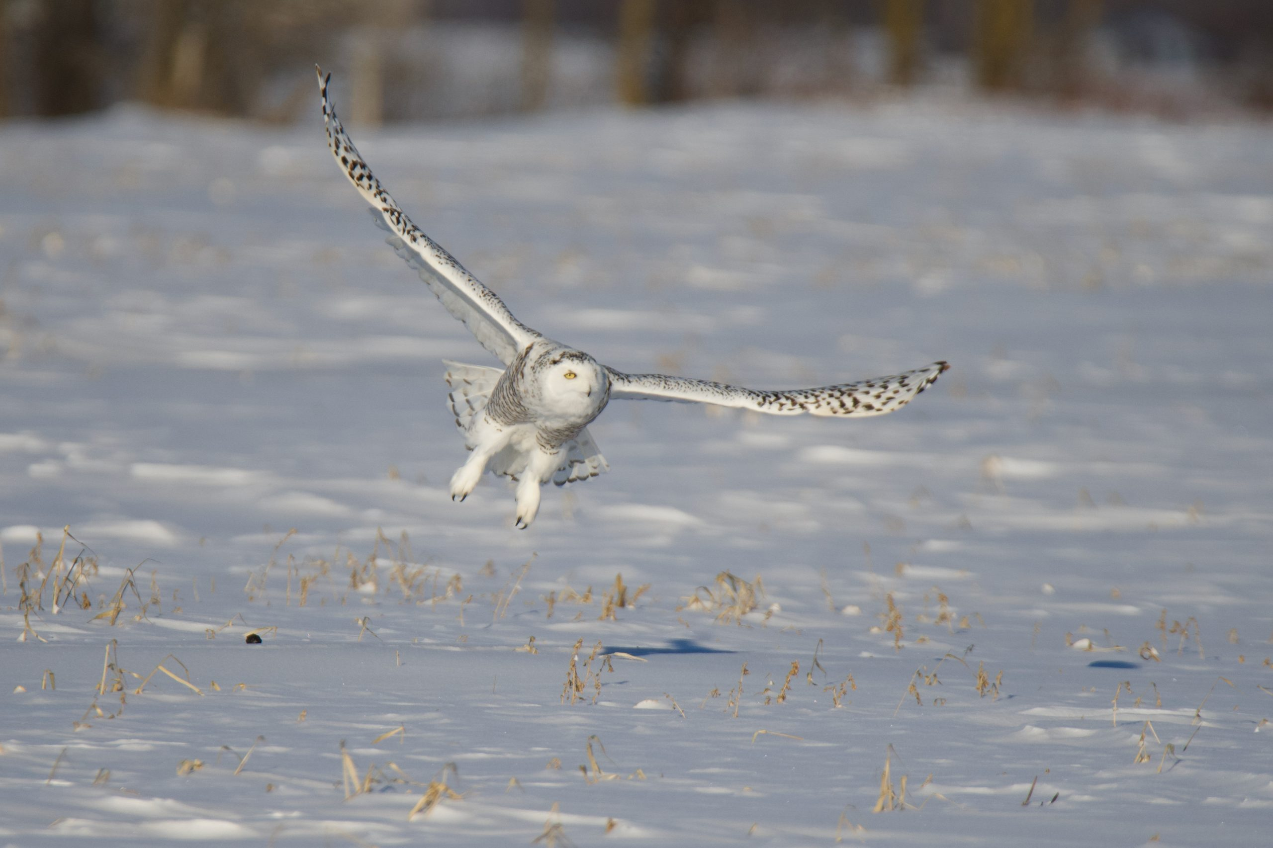 Snowy Owls and Human Encounters