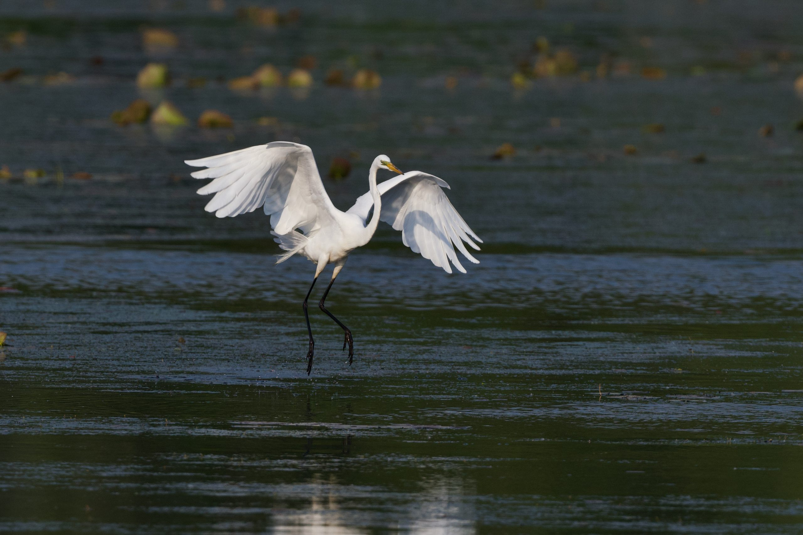 Great Egrets Make Great Photo Ops