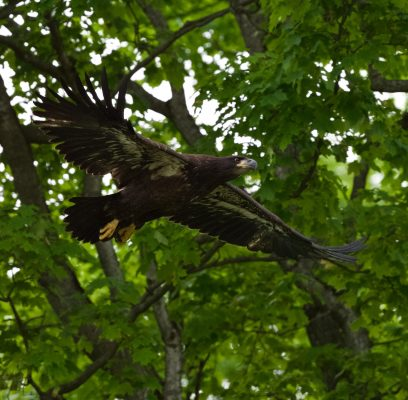 Bald Eagle Fledglings Have Challenges