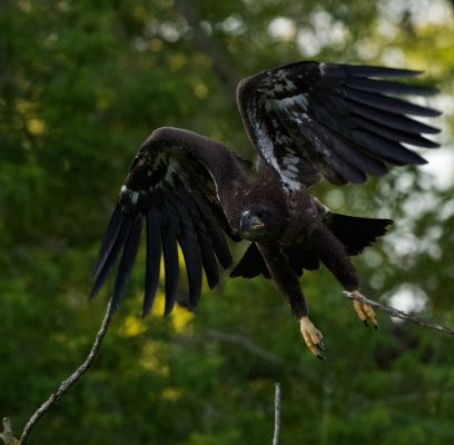 Bald Eagles Learning To Be Independent