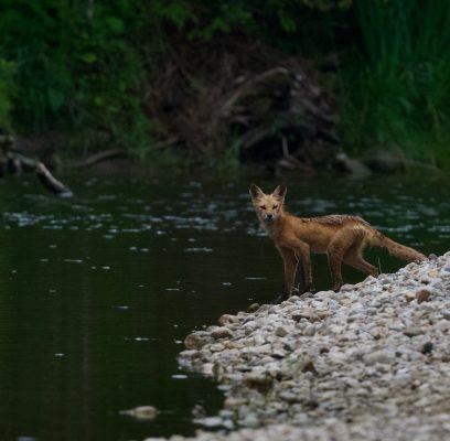 Fox Encounters