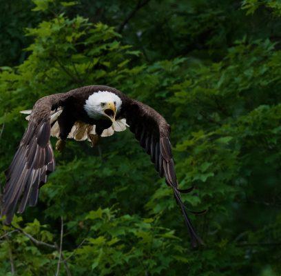 Bald Eagle Parenting Skills Are Sublime