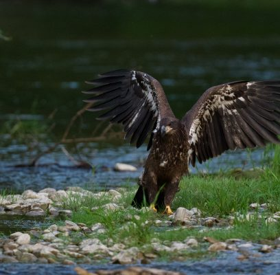 Eaglet Enjoys a Meal on the Nith River