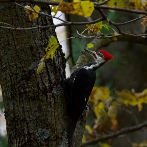Adult Male Pileated Woodpecker near Glen Morris, Ontario. October 2020