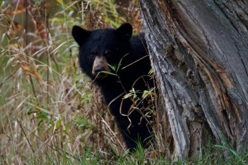 Black bear in Killarney, Ontario. October 2020