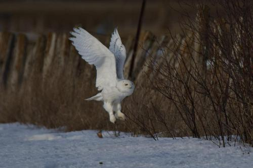 A two year old male snowy owl taking off March 2021