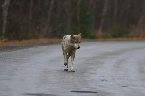 An Algonquin Wolf emerging from forest near Killarney, Ontario. November 2020