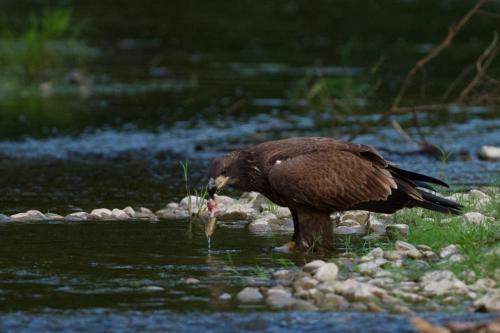 Eaglet eating fish by the river