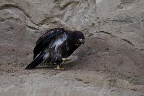 Eaglet stuck on sandbank.