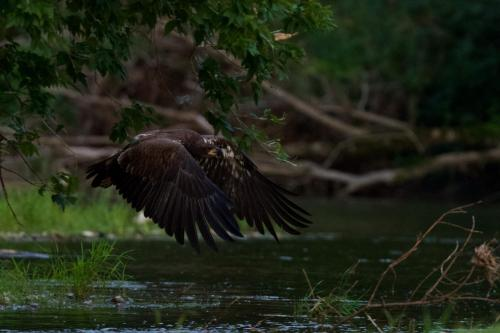 Eaglet flying back to its perch after taking a drink from the river
