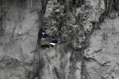 Belted Kingfisher delivering fish to its nest. May 2021