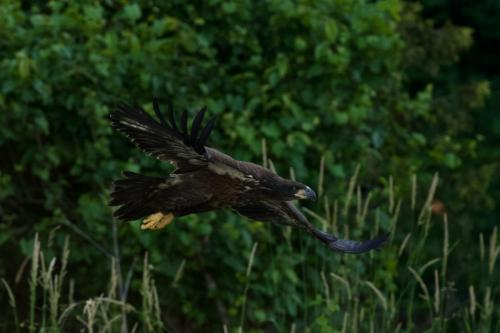 Fledgling flying along Nith River, June 2021