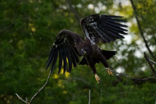 Fledgling heading back to nest. June 2021