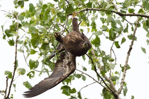 Recently fledged eaglet hanging upside down. June 2021