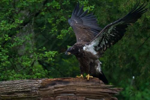 Rain drenched eaglet preparing to find its way back to the nest. June 2021