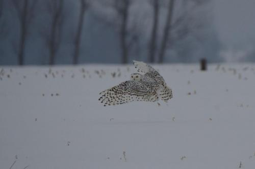 Female snowy owl hunting on windy, rainy afternoon in February 2021