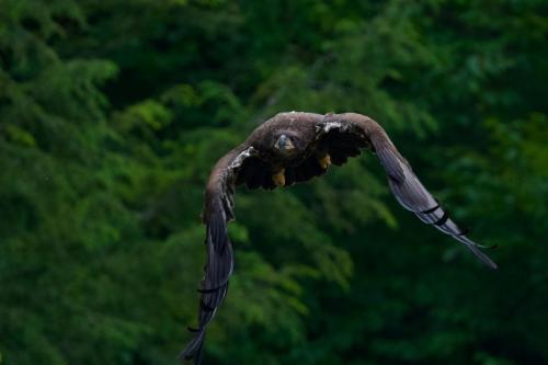 Eaglet flying down river towards me