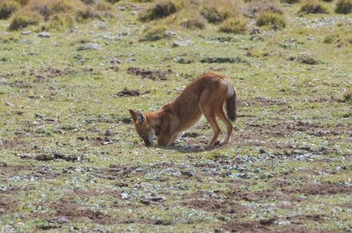 An Ethiopian wolf digging for muleheaded rats on the Sanetti Plateau (Bale Mountains in southern Ethiopia)