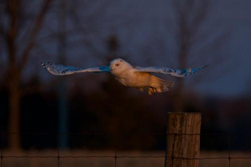 An immature male snowy owl lifting off one winter evening in 2017