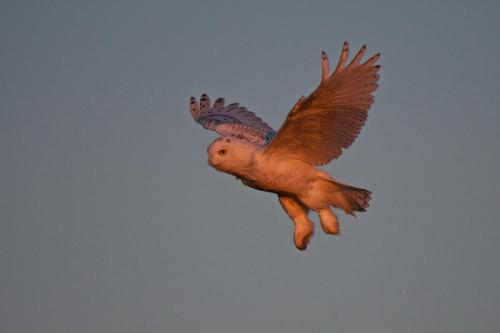An immature snowy owl hovering over potential prey