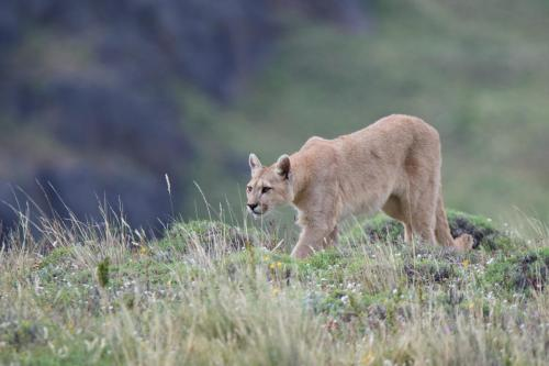 An adult female puma on the hunt