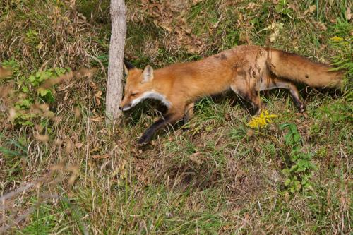 A red fox on the prowl in late September