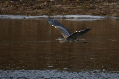 A Great Blue Heron flying along the Grand River near Brantford, Ontario