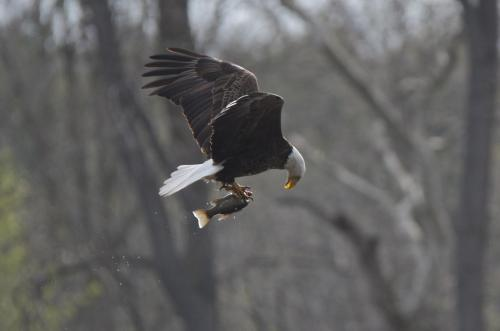 A bald eagle juggling a fish he has just caught from the Grand River near Brantford, Ontario