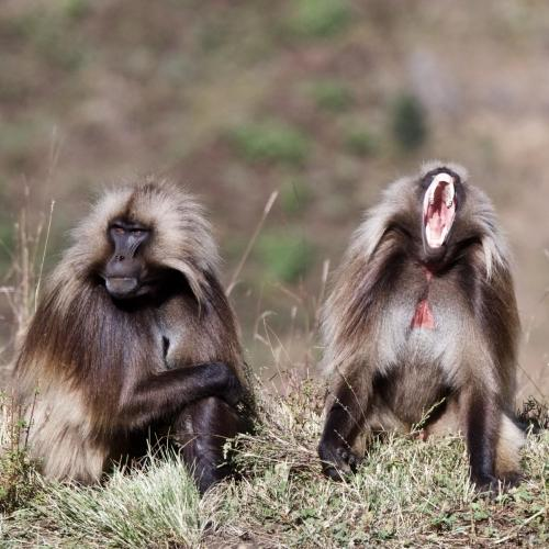 A pair of Gelada Baboons in Ethiopia's Simien Mountains