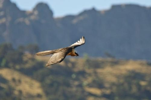 A Lammergeier or 'bearded vulture' soaring over the Simien Mountains