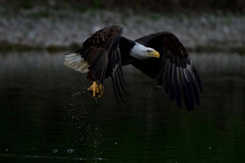 A bald eagle catching a fish late one evening on the Grand River near Brantford, Ontario