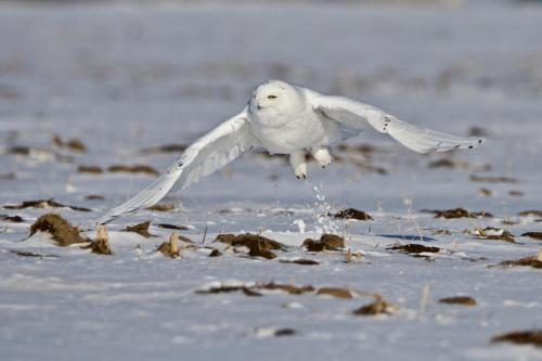A male snowy owl lifting off after being spooked by an approaching female owl