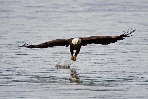 Bald eagle successfully catching a fish in the Grand River near Brantford, Ontario