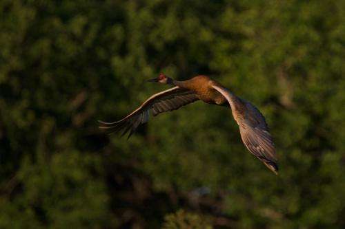 Sandhill Crane flying out of a marsh near Cambridge, Ontario