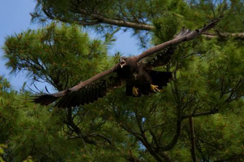 Eaglet returning to nest for food