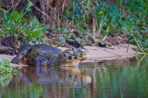 A caiman crocodile on the Cuiaba River in Brazil