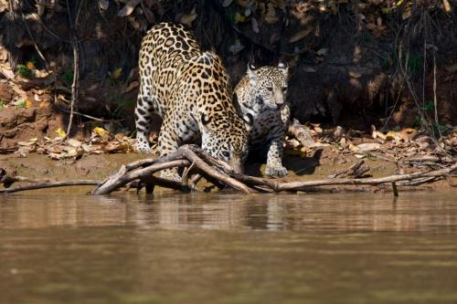 A mother jaguar taking a drink with one of two cubs she had hidden away