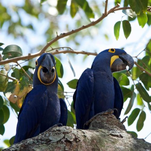 A pair of hyacinth macaws