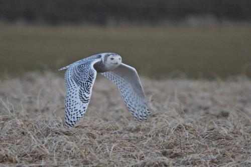 A young female snowy owl on a frozen field in southwestern Ontario