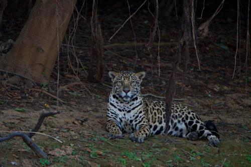 An adult male jaguar 'sitting for a portrait' on the Cuiaba River.
